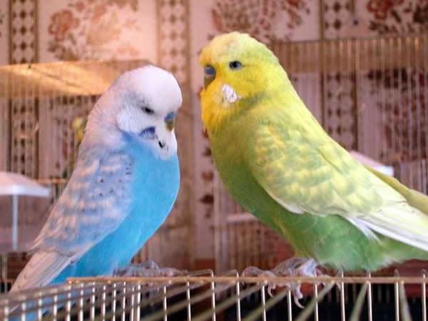 Выбор, уход, содержание волнистых попугаев