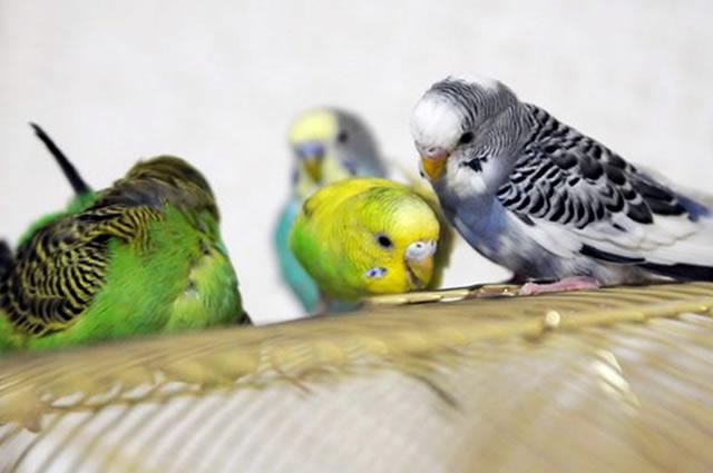 После покупки или подарка милого питомца возникает вопрос - как приручить волнистого попугая?