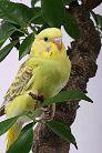 История разведения волнистых попугаев