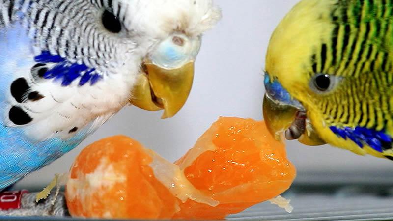 Продаю птенцов волнистых попугаев фото 1 увеличить!